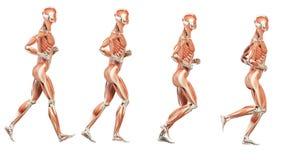Мышцы иллюстрация вектора