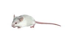 Мышь белого ребенка милая на белой предпосылке Стоковые Фотографии RF