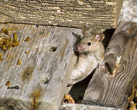 мышь дома Стоковая Фотография
