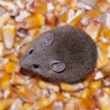 Мышь есть мозоль стоковое фото