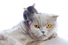 мышь кота стоковая фотография rf