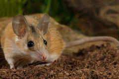 Мышь крупного плана молодая женская колючая охотится на насекомом стоковая фотография