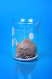 мышь лаборатории Стоковое Изображение