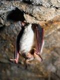 мышь летучей мыши eared большая Стоковая Фотография RF