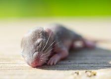 Мышь младенца стоковые фото