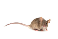 Мышь на белизне Стоковое Изображение RF