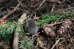 Мышь на поле леса стоковые изображения rf