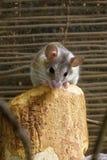Мышь несовершеннолетнего Азии spiny стоковая фотография