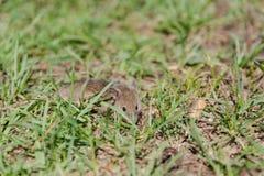 мышь одичалая мышь бежит на траве серая мышь Стоковое Фото