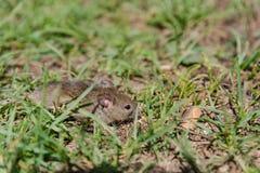 мышь одичалая мышь бежит на траве серая мышь Стоковое Изображение