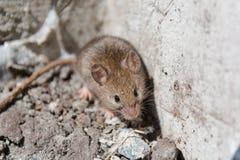 мышь одичалая мышь бежит на траве серая мышь Стоковое Изображение RF