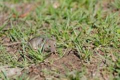 мышь одичалая мышь бежит на траве серая мышь Стоковые Изображения