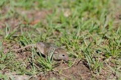 мышь одичалая мышь бежит на траве серая мышь Стоковые Фото