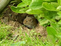 Мышь поля сидя перед своим домом стоковое изображение rf