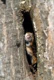 Мышь поля Стоковое Изображение