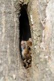 Мышь поля Стоковые Фотографии RF