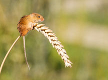 Мышь сбора Стоковые Фотографии RF