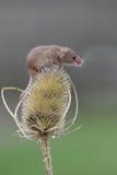 Мышь сбора Стоковые Фото