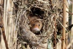 Мышь сбора, minutus Micromys Стоковая Фотография RF