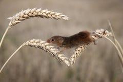 Мышь сбора, minutus Micromys Стоковые Фото