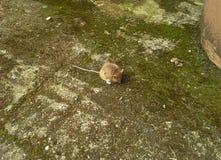Мышь сверху в дворе Стоковое Изображение RF