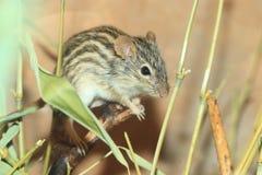 мышь травы striped стоковые фотографии rf