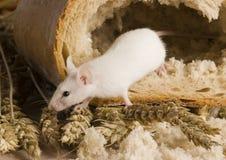 мышь хлебца Стоковые Фотографии RF