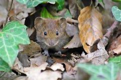 Мышь i Стоковые Фотографии RF
