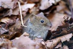 мышь ii Стоковая Фотография RF