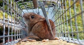 Мышь Rötel Стоковые Изображения RF