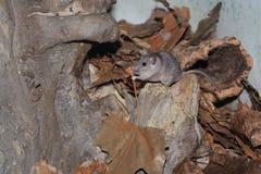 Мышь Tibesti колючая стоковые изображения rf