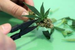 Мы режем зеленую марихуану с острыми ножницами стоковые фотографии rf