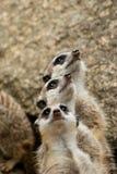 Мы 3 surikaty стоковое фото rf