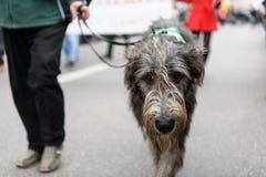 МЮНХЕН, БАВАРИЯ, ГЕРМАНИЯ - 13-ОЕ МАРТА 2016: серый ирландский wolfhound идя на улицу на дне ` s St. Patrick проходит парадом 13- Стоковая Фотография