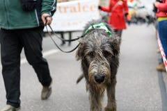 МЮНХЕН, БАВАРИЯ, ГЕРМАНИЯ - 13-ОЕ МАРТА 2016: серый ирландский wolfhound идя на улицу на дне ` s St. Patrick проходит парадом 13- Стоковые Фотографии RF