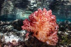 Мягкая колония коралла на отмелом индонезийском рифе Стоковые Фото
