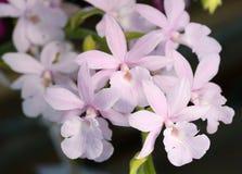 Мягкая розовая орхидея Стоковое Изображение