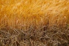 Мягкая теплая деталь полеводческого растения ячменя Стоковые Фото