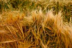 Мягкая теплая текстура полеводческого растения ячменя пшеницы Стоковые Изображения RF