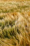 Мягкая теплая текстура полеводческого растения ячменя Стоковая Фотография