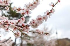 Мягкие вишневый цвет фокуса или цветок Сакуры весны в Сеуле, Южной Корее, предпосылке природы Стоковое Фото
