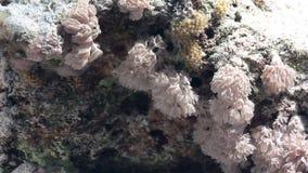 Мягкие кораллы на ландшафте предпосылки подводном в Красном Море видеоматериал