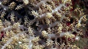 Мягкие кораллы подводные в мире живой природы Филиппин видеоматериал