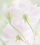Мягкие пастельные розы heirloom Стоковая Фотография RF