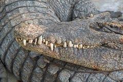 Мягкий выстрел в голову фокуса американского аллигатора отдыхая с острым тройником Стоковые Фото