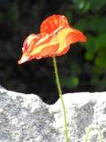 Мягкий мак смотря на камень Стоковая Фотография