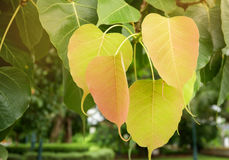 Мягкий пик выходит дерево bodhi стоковое фото rf