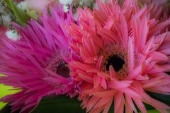 Мягкий пинк цветет предпосылка Стоковая Фотография RF