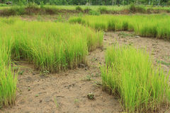 Мягкий рис Стоковая Фотография