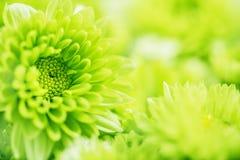 Мягкий свежий зеленый цветок для предпосылки влюбленности романтичной мечтательной, f Стоковые Фото